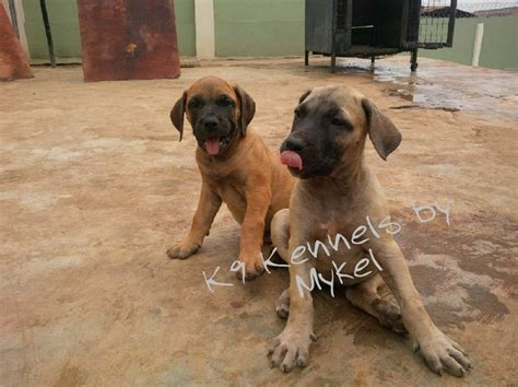 Puppies For Giveaway - boerboel puppies from k9 kennels at giveaway sales pets nigeria