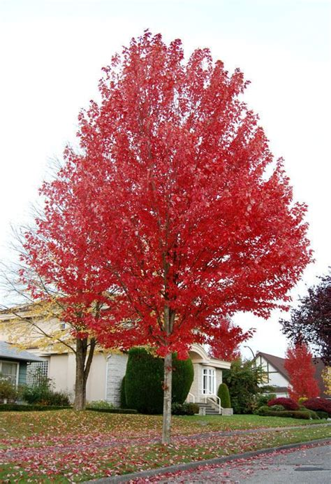 maple tree calgary size picture of freeman s maple hybrid maple autumn blaze acer x freemanii best