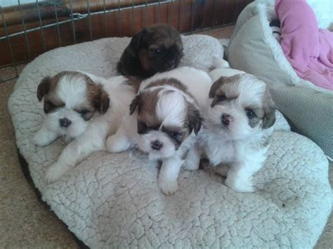 shih tzu puppies for sale hawaii shih tzu 12 months breeds picture