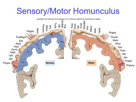 motor and sensory the nervous system chapter ppt