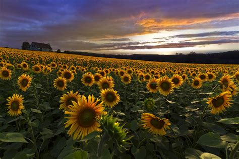 sunflower sunset photograph  debra  dave vanderlaan
