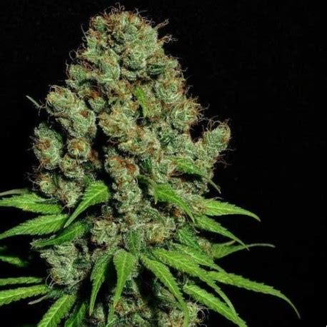 which is better or indica indica feminized seeds high supplies