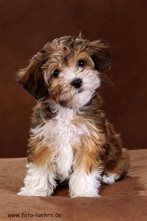 34 Best Images About Dogs On Jinx Yorkie And Search