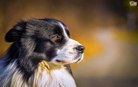lupus in dogs what is systemic lupus erythematosus in dogs pets4homes