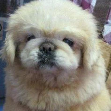pugs for sale in ottawa yogi the pekingese mix puppies daily puppy breeds picture