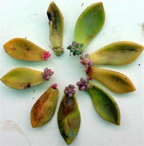 187 leaf propagation a succulent shared nybg