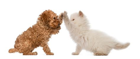 introducing cats and dogs you successfully introduce a and cat its high fives all around pictures