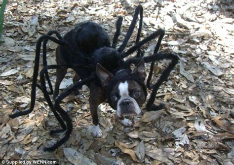 puppy spider look out here comes the spider boston terrier called echo parades itself in