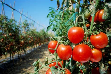 pianta pomodoro in vaso 5 trucchi per coltivare i pomodori pollicegreen