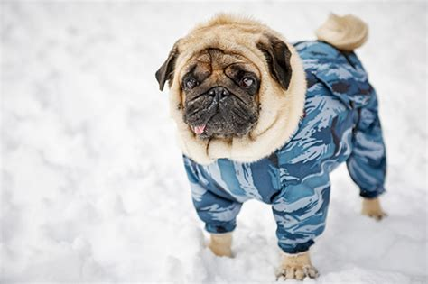 pug temperature 7 tips to keep animals healthy during cold weather nc state veterinary medicine