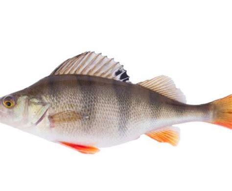 come si cucina il persico ricette con il pesce persico la scheda e la cottura