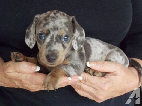 blue dachshund puppies akc registered blue dapple miniature dachshund puppy color for sale in