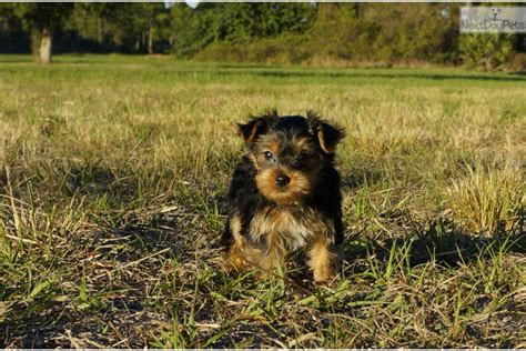 yorkie puppies for adoption near me meet sweet scarlet the yorkie for adoption in fl terrier yorkie puppy