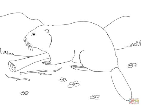 beaver coloring pages preschool eurasian beaver coloring page free printable coloring pages