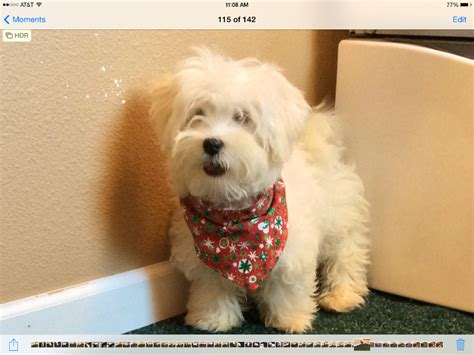 puppies for sale in sd puppies for sale havanese havanese f category in corsica south dakota