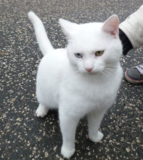 ALL White short haired cat   Cats like Snowflake