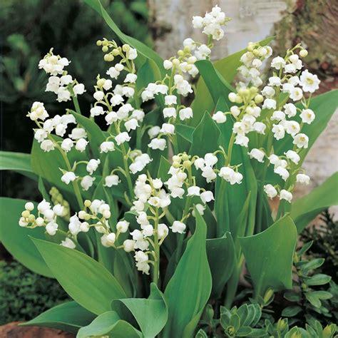 bulbi da fiore perenni convallaria piante perenni come coltivare la convallaria