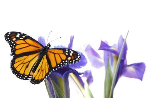immagini sui fiori farfalla sui fiori fotografia stock immagine di bello