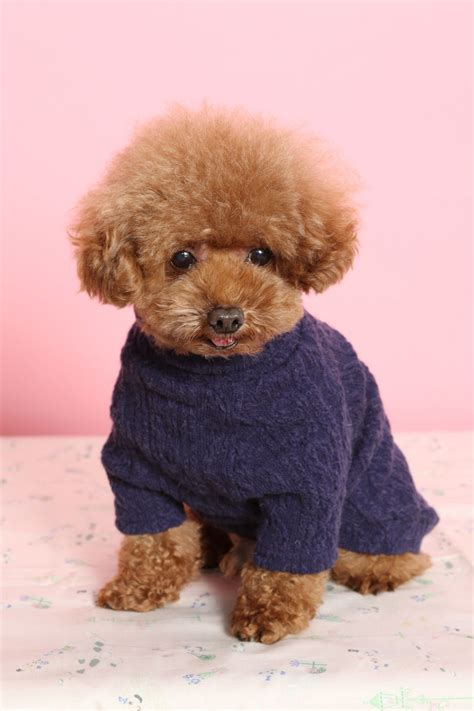 mini poodle information facts about the teddy breed that ll make you go aww