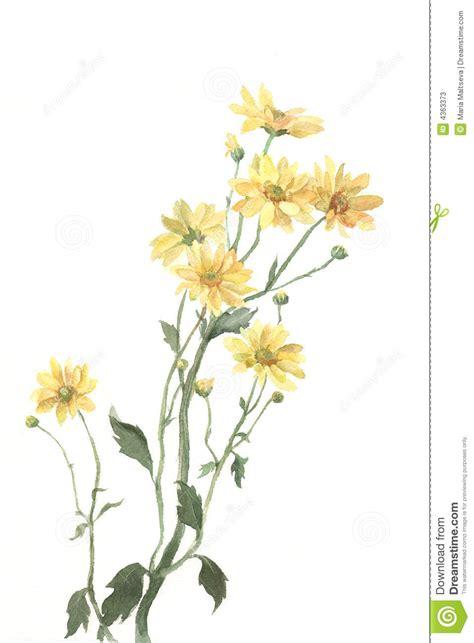yellow chrysanthemum flowers watercolor painting stock