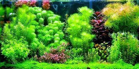 jenis tanaman aquascape berdasarkan penempatannya kebunpedia