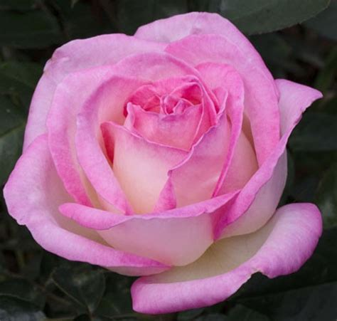 rosier pierre arditi jardiland мадам роза саженцы роз розы кордес kordes зимостойкие