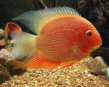 breeding red severum cichlid image gallery severum