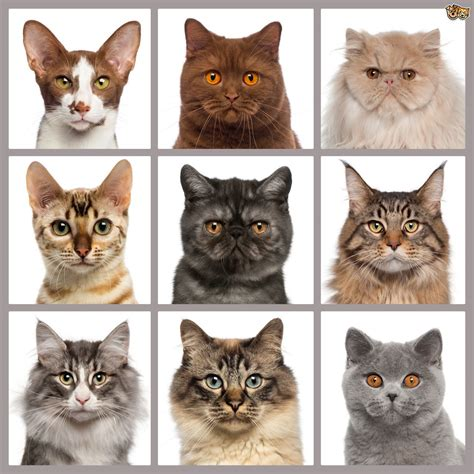 cat breed which pedigree cat breed is right for you pets4homes