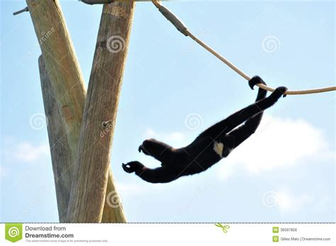 swinging monkeys gibbon monkey nomascus swinging on rope stock photo