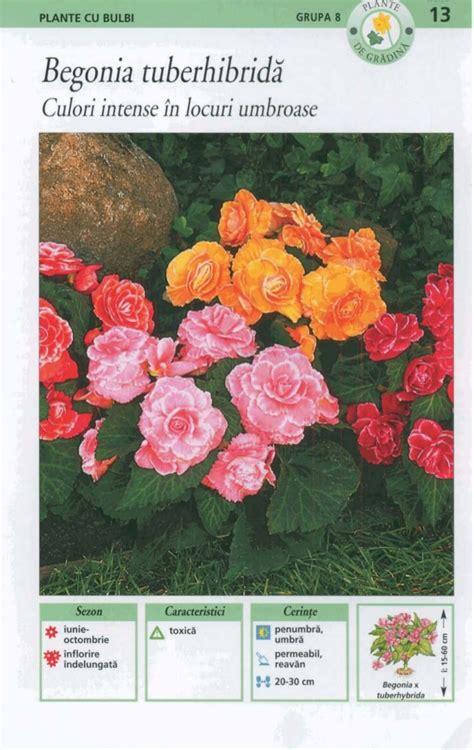 Dupa Tahio Lingkar 8 Nanas 1 8 plantele cu bulbi