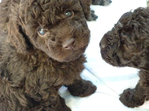 brown poodle puppy stunning choc brown tiny poodle puppy redcar pets4homes
