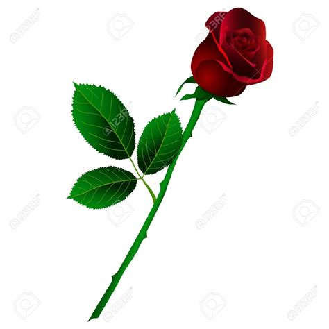 imagenes de rosas solas rosa roja con tallo largo fondo blanco ilustraciones