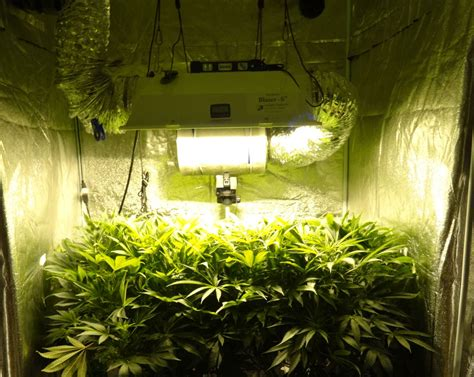 grow lights   cannabis plants grow