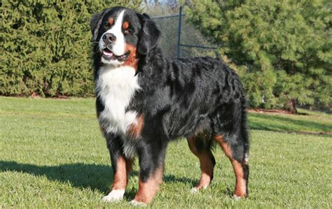 burmese mountain bernese mountain breed information