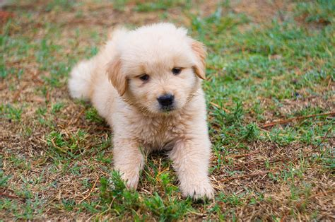 choosing a golden retriever puppy golden retriever puppies how to choose the right puppy