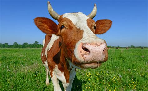 Has Calves by What It Means To A Cow And More Cattle Based Idioms