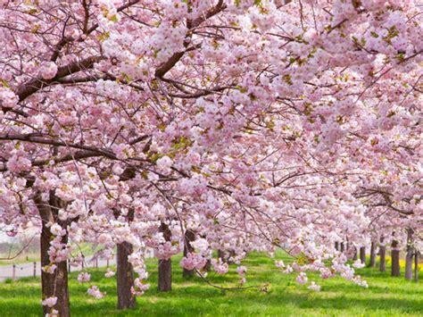 imagenes flores de cerezo 16 curiosidades sobre los cerezos en flor