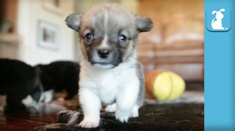 miniature corgi puppies miniature corgi puppies are unspeakably adorable doovi