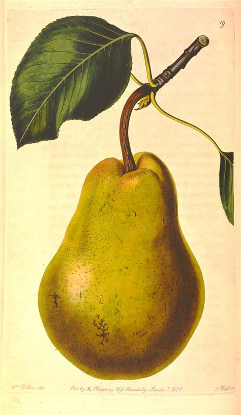 12 best images about pear pear symbolism for the new year the pear dish