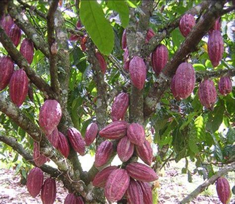 Gamis Gelora Coklat Nu 01 informasi terkini cara budidaya tanaman kakao coklat