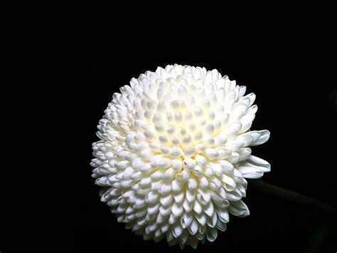 fiore crisantemo il crisantemo ricerche naturopatiche
