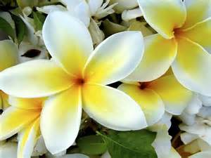 best flower s care plumeria