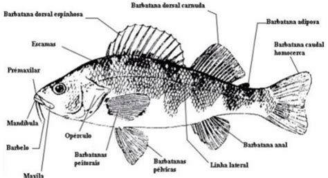 Termos Telur peixes 211 sseos classe osteichthyes infoescola