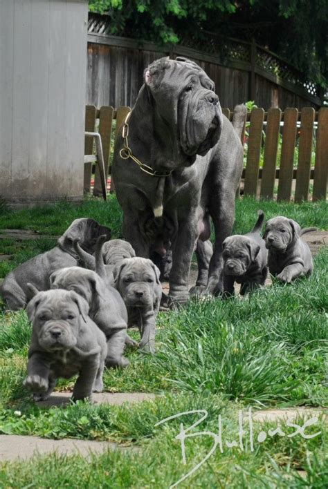 mastiff dog house neapolitan mastiff not in the dog housenot in the dog house