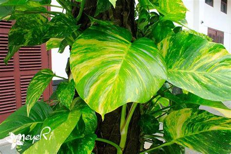 Tanaman Sirih Gading Kuning Pohon Sirih Gading Kuning 0895336476769 180 best images about araceae on elephant ears amorphophallus titanum and plants