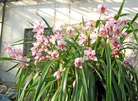 orchidea da giardino fioritura orchidee orchidee orchidee in fiore