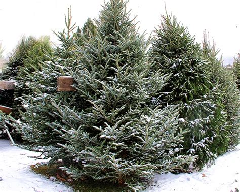 where to find a real christmas tree in wirral