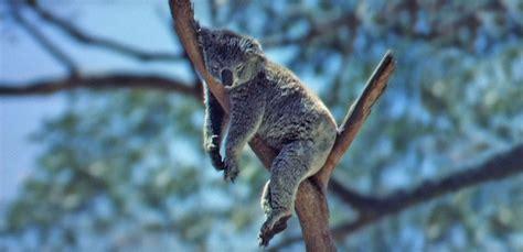 australian animals nfsa