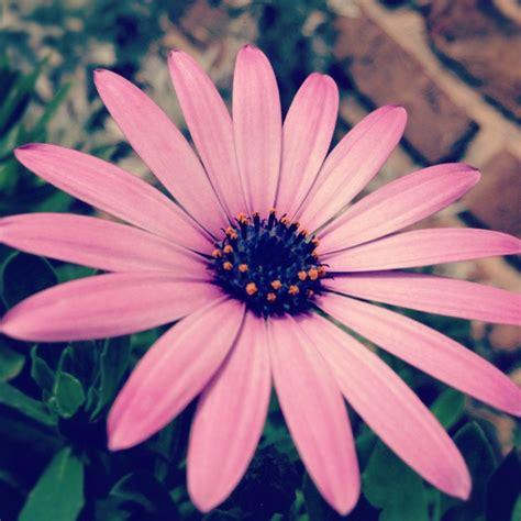 pink sunflowers photograph by angela pink sunflower flowers of fragrance â i â ï â ù ïº it