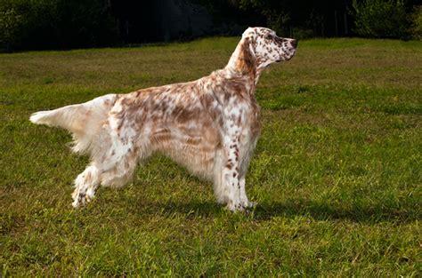 miss ali english setter dog breeds english setter
